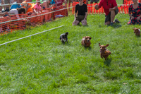 The Dachshund Derby at Oktoberfest 2016.